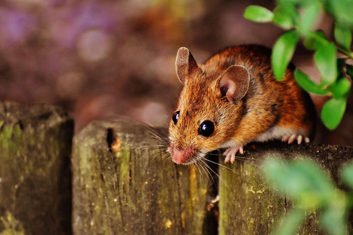 Mäuseplage beseitigen