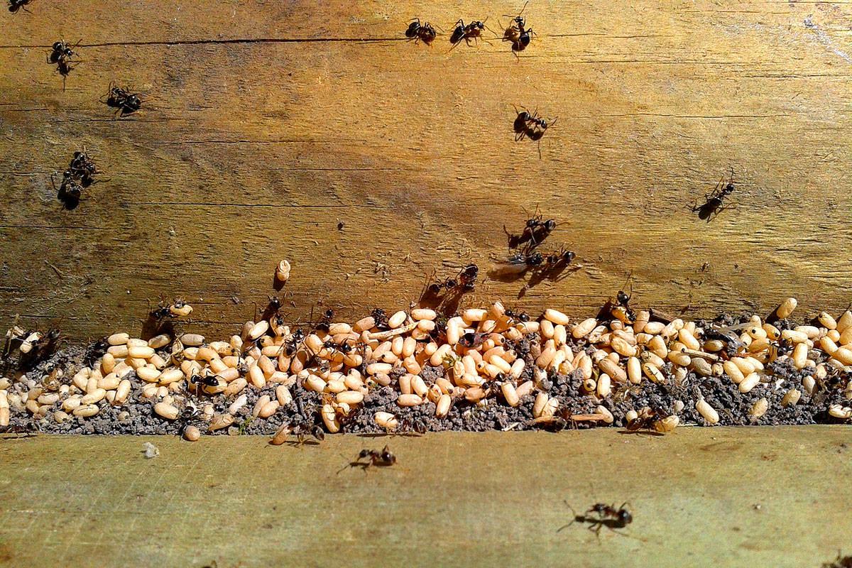 Wir haben die Lösung für jeden Ameisenbefall
